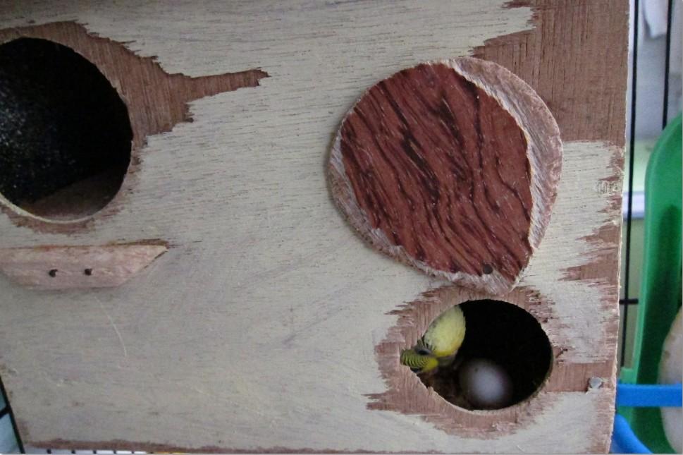 [Image: budgie-egg-3.jpg?i=1625941677]