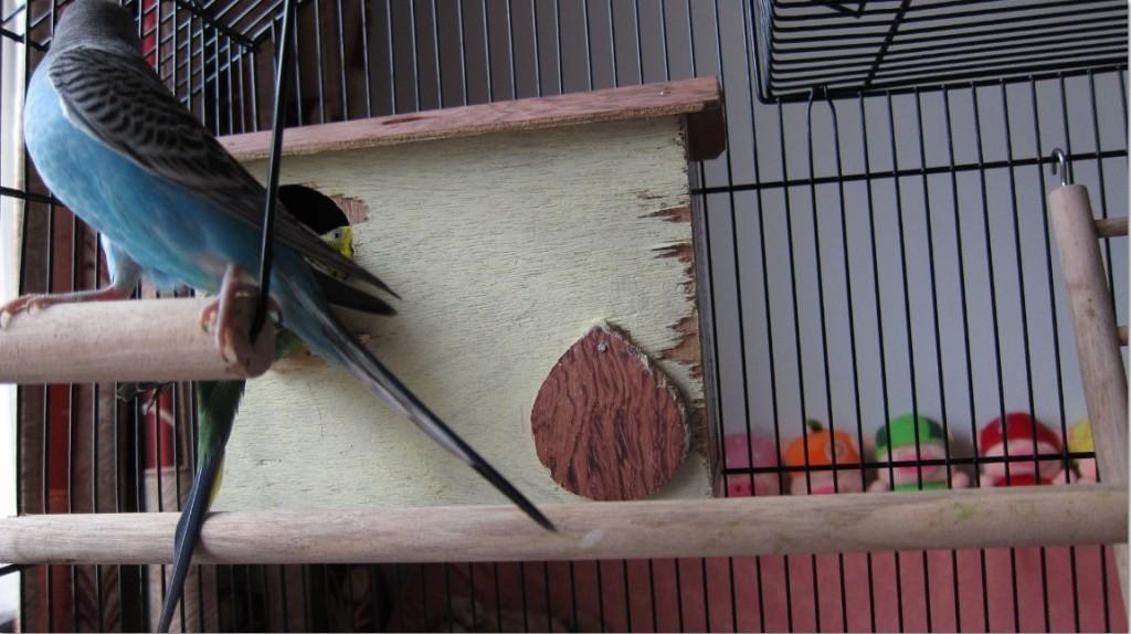 [Image: Budgie-parakeet-swings-1024x574.jpg]
