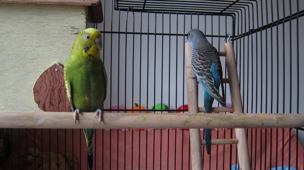 [Image: Budgie-parakeets-01-1024x573.jpg]