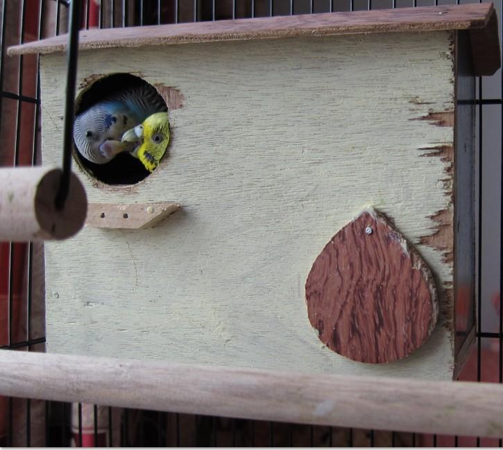 [Image: Budgie-parakeets-kissing.jpg]