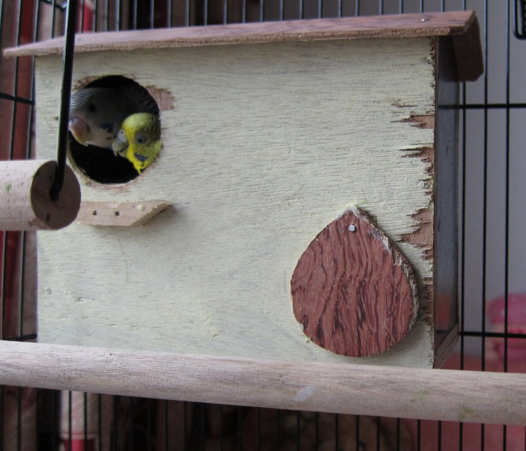 [Image: Two-Budgie-Parakeets-in-a-nest.jpg]