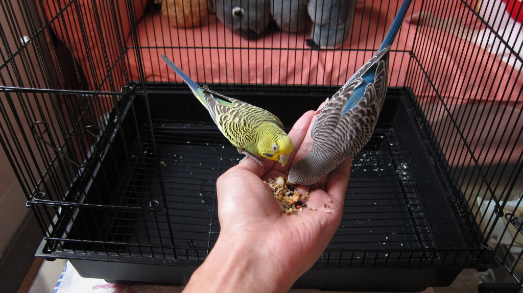 Hand feed my budgies